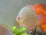 User:andrea alampi Name:discus 21-03 032.jpg Title:discus 21 03 032 Views:566 Size: B