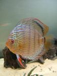 User:andrea alampi Name:discus 21-03 065.jpg Title:discus 21 03 065 Views:718 Size: B