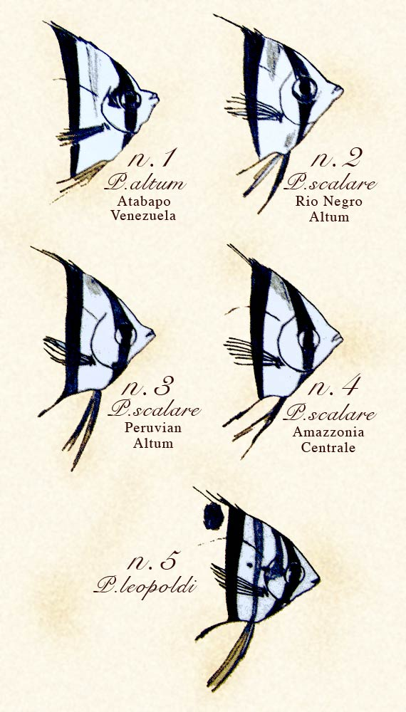 Pesci Angelo - Angel Fish
