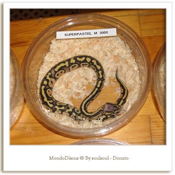 Il serpente Python Regius Morph Super Pastel