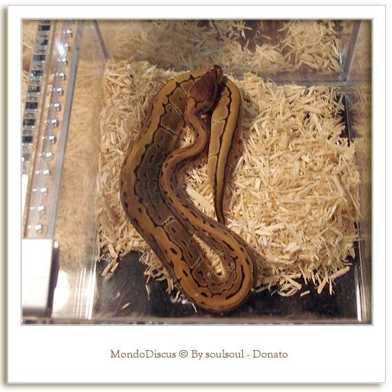 Il serpente Python Regius Morph Pinstripes
