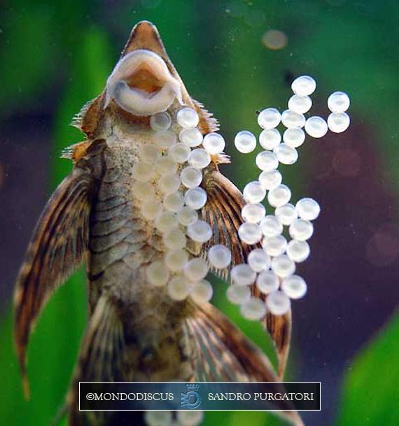 Il maschio dello Sturisoma panamense che cura le uova