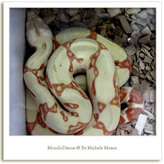Un serpente della Mostra Esotica Di Perugia 2008