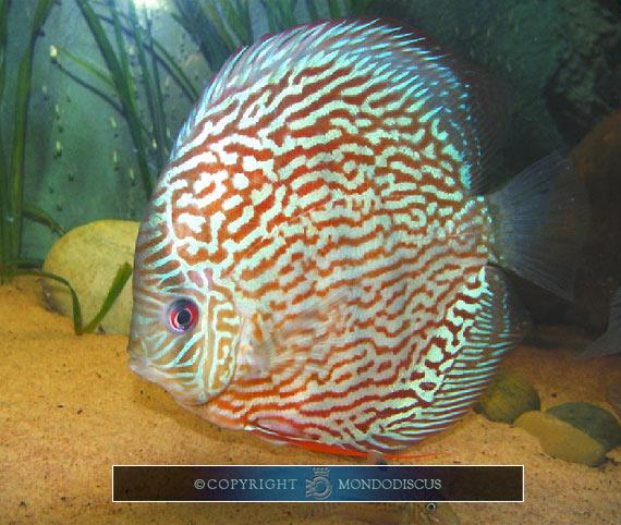 Discus la guida per principianti for Pesce discus