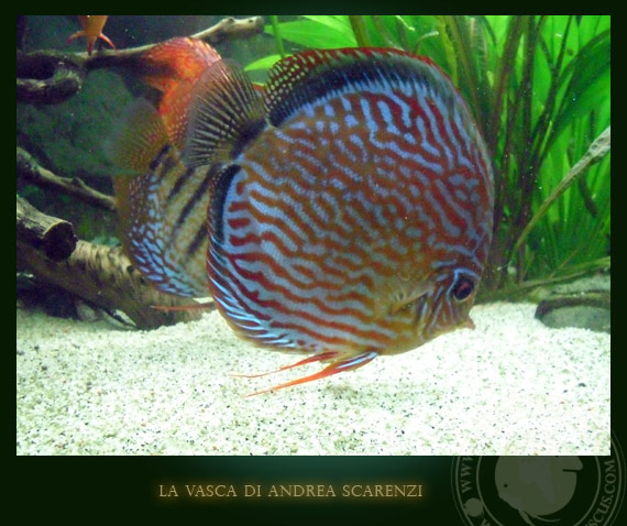 discus rosso turchese