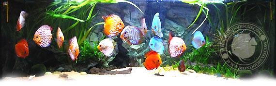 discus in acquario