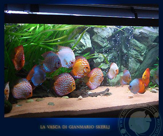 acquari italiani la tavolozza nell 39 acquario dei discus