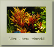 althernanthera reineckii