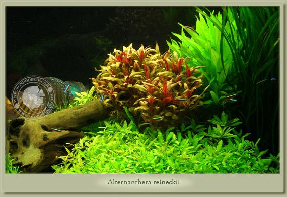alternanthera reineckii