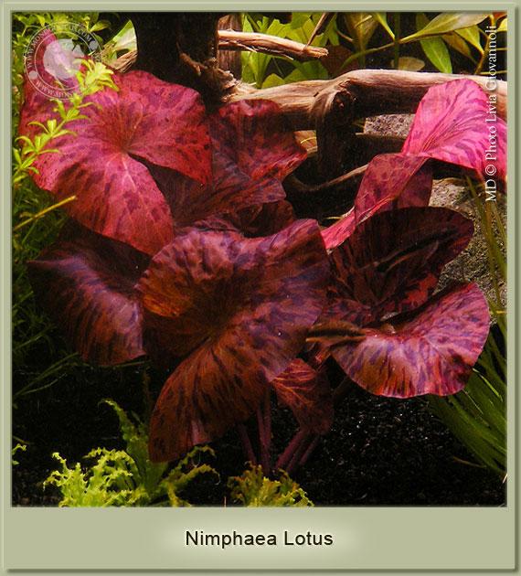 illuminazione piante rosse acquario: le principali differenze tra ... - Piante Galleggianti Acquario Chiuso