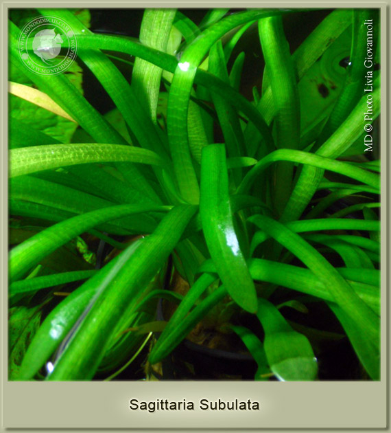 sagittartia subulata