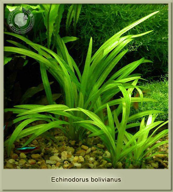 echinodorus bolivianus
