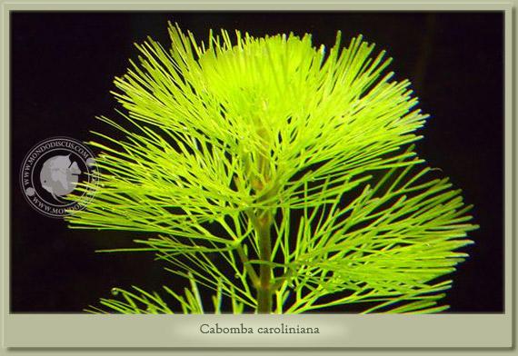 cABOMBA CAROLINIANA