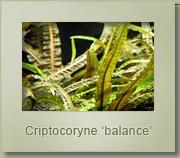 criptocoryne balance