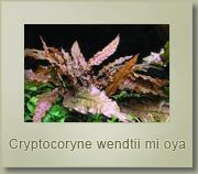 criptocoryne mioya