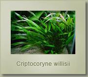 criptocoryne willisii