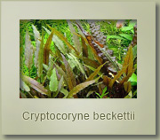 criptocoryne beckettii