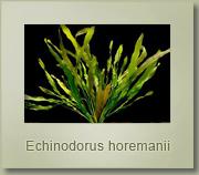 echinodorus horemannii