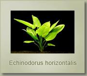 echinodorus orizontalis