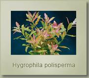 hygrophila polisperma