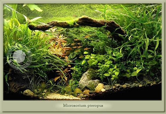 acquario con microsorium