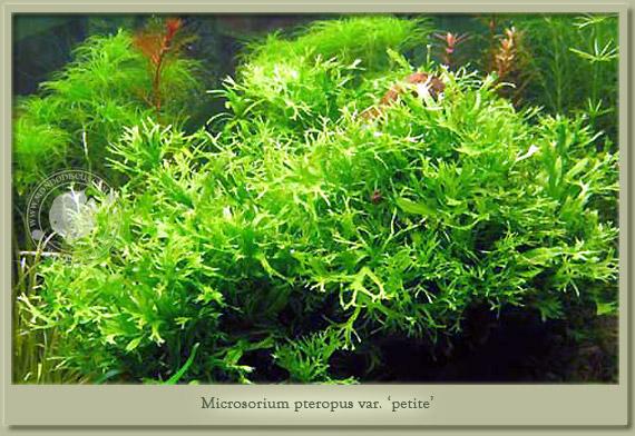 microsorium petit