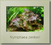 nymphaea zenkeri