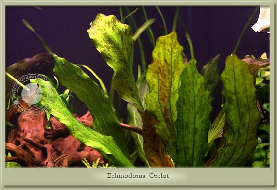 Mondo acquario echinodorus 39 ozelot 39 for Piante per acquario online