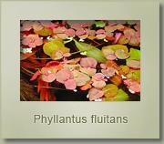 phyllantus fluitans