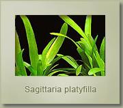 sagittaria platyfilla