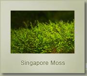 singapore moss