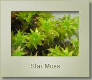 star moss tortula ruralis