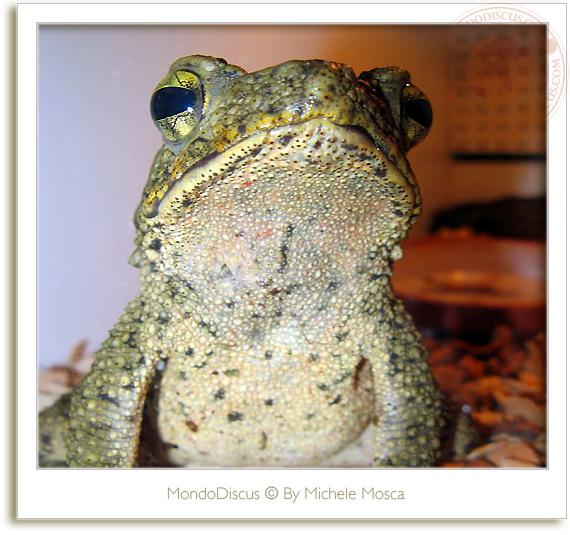 Le rane del ReptilesDay 2009, frog, snake, rettili, italia reptiles, camaleonti, serpenti