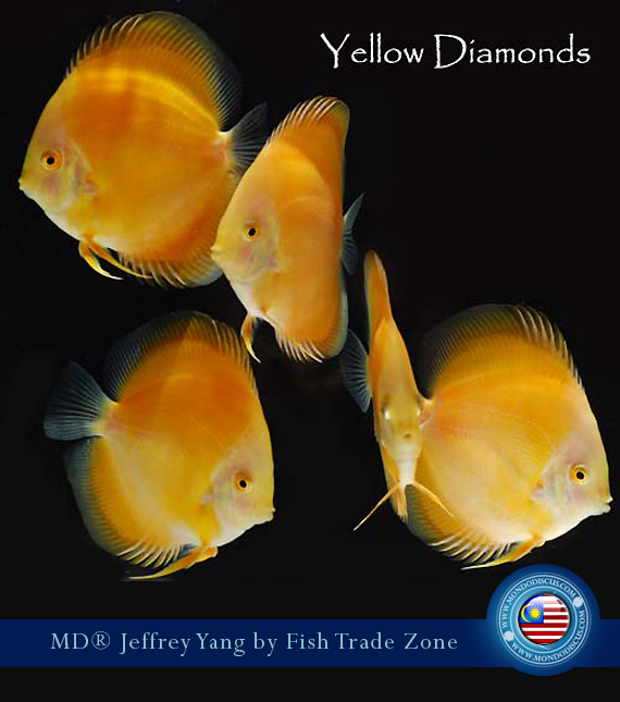 yellow diamond discus