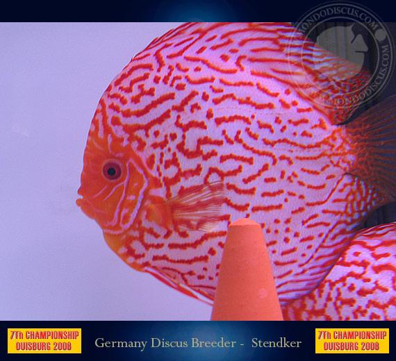 Quanto costa un discus in italia for Pesce discus