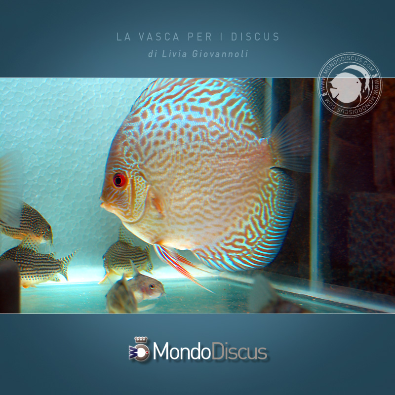 AquarioDiscus5