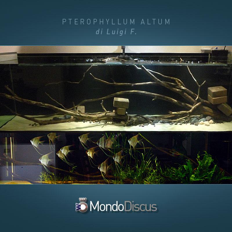 MasterArticoli-PterophyllumAltum11
