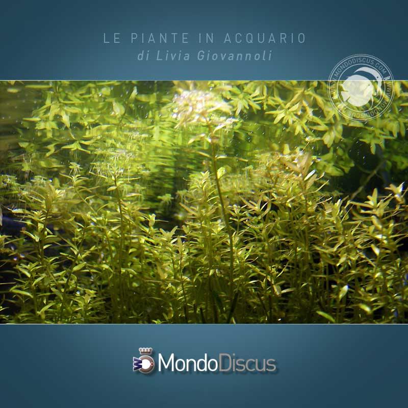 Le piante d 39 acquario for Piante da acquario