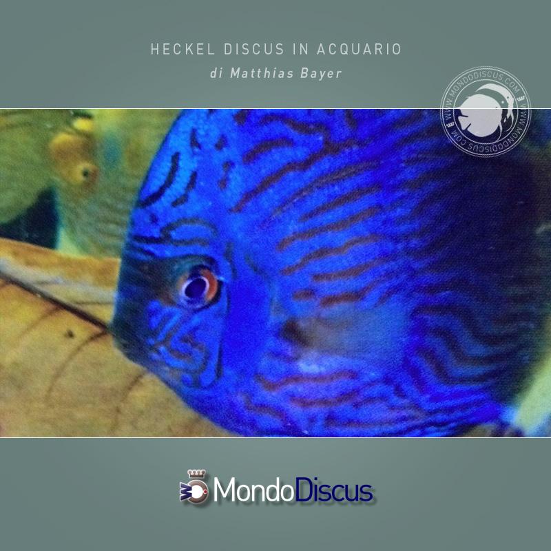 Il discus heckel delicato o no for Pesce discus