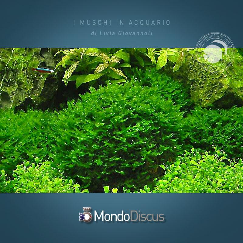 monosolenium-tenerum