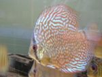 User:andrea alampi Name:discus 21-03 045.jpg Title:discus 21 03 045 Views:584 Size: B