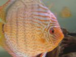 User:andrea alampi Name:discus 21-03 042.jpg Title:discus 21 03 042 Views:725 Size: B