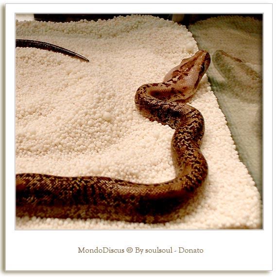 Il serpente Python Regius Morph