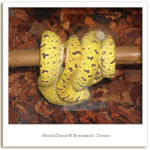Il serpente Morelia Viridis giovanile