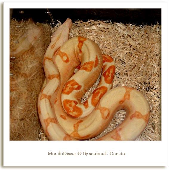 Il serpente Boa C.I. Morph
