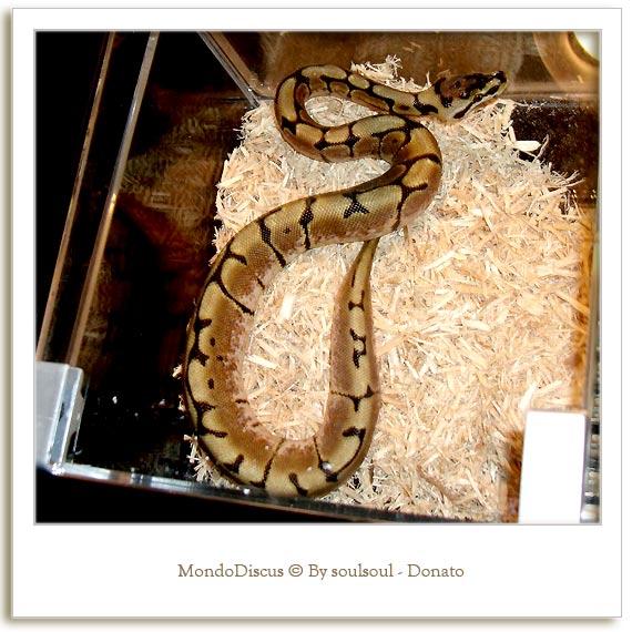 Il serpente Python Regius Morph Spyder