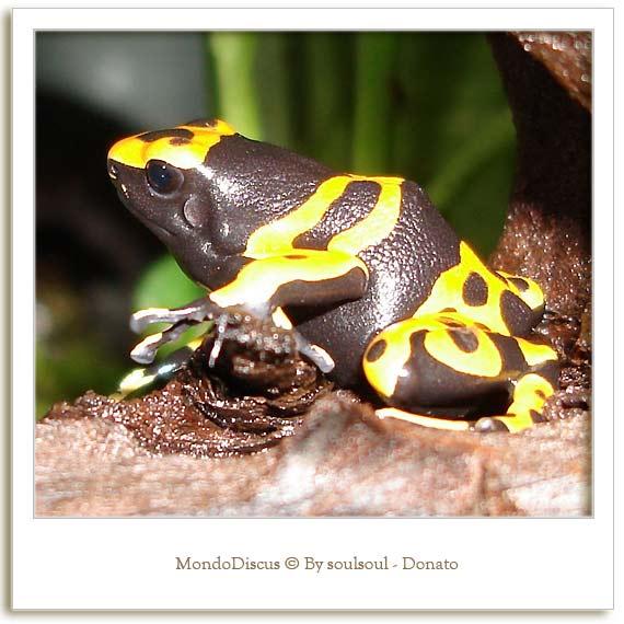 La rana Dendrobates Leucomelas