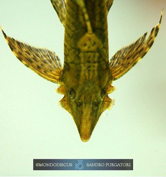Il maschio di Sturisoma panamense