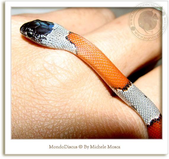 Fiera nirm di Milano serpente