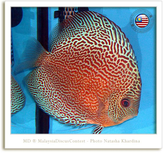 snake spotted discus malaysia contest
